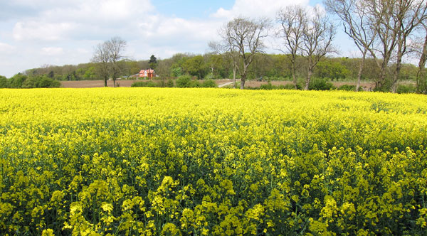 Farmhouse-in-rapeseed-west-of-Alford-copy