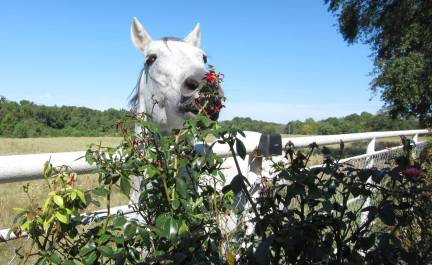 horse eating roses for blog