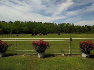 Z ~ cows in pasture copy