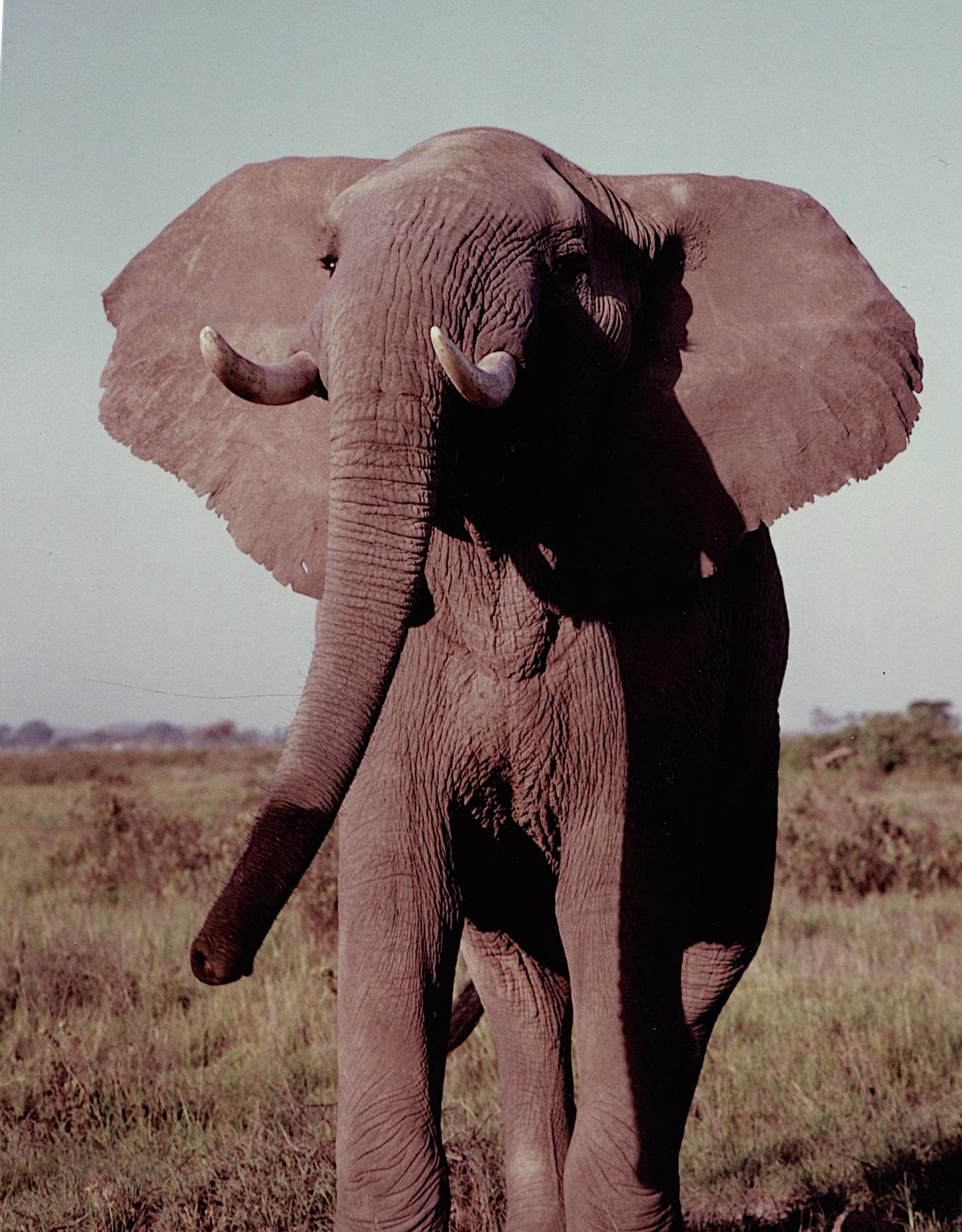 elephant_amboseli